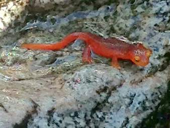California-Newt-YExplore-DeGrazio