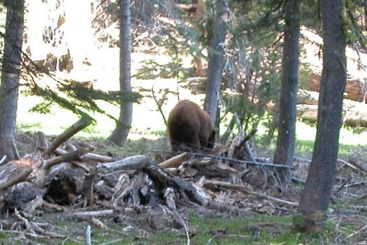 Yosemite-BlackBear-YExplore-DeGrazio-MAY2006