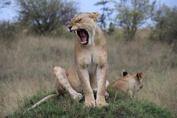Africa-Tanzania-Safari-Lion-Laizer