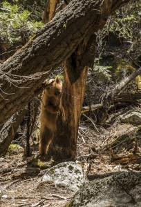 Bear May 2016 Yosemite Instagram