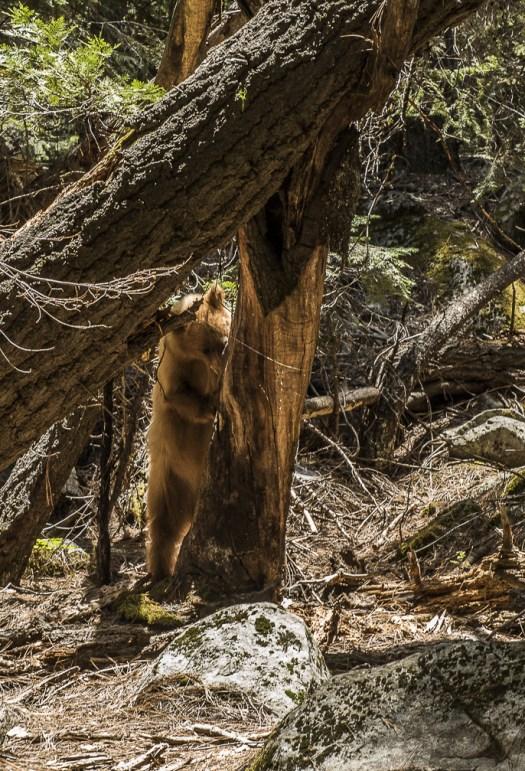 Bear May 2016 Yosemite Instagram
