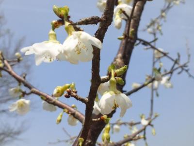 緑萼近畿豆桜130404_113130.jpg
