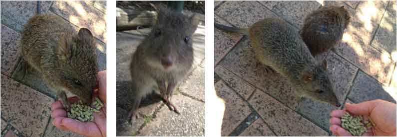 Your Missing Link feeds cute little potoroos in Cleland Wildlife Park, Adelaide Hills
