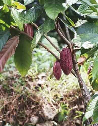 شجرة الكاكاو