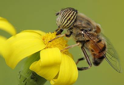 דבורני עין-פסים