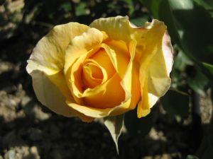 Rose Jaune Nalanda