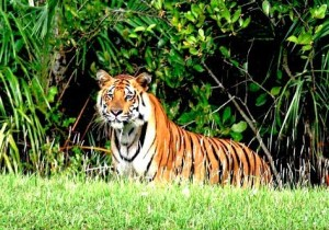 Royal Bengal Tiger in Sundarbans