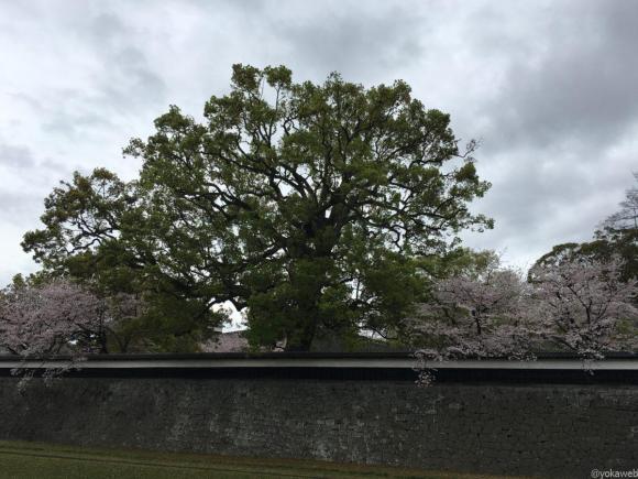 熊本城お堀の桜