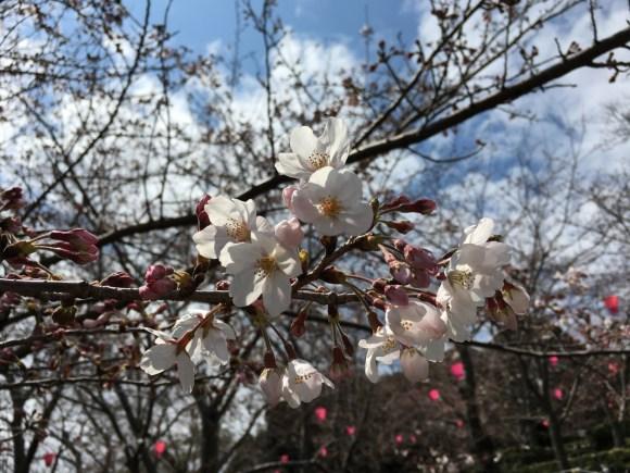 立山公園の桜