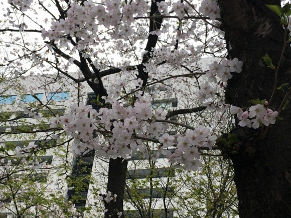 福岡市役所前の桜