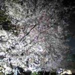 舞鶴公園の夜桜