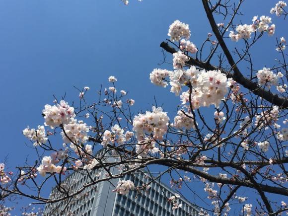 明治通り側の桜の木