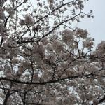 天神中央公園の桜