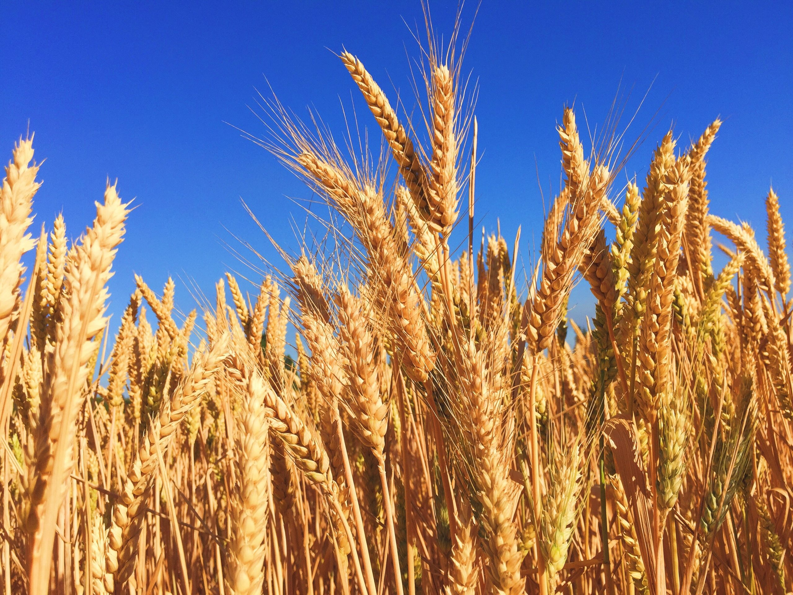 A field of golden wheat is a stark contrast to the bright blue sky behind it.