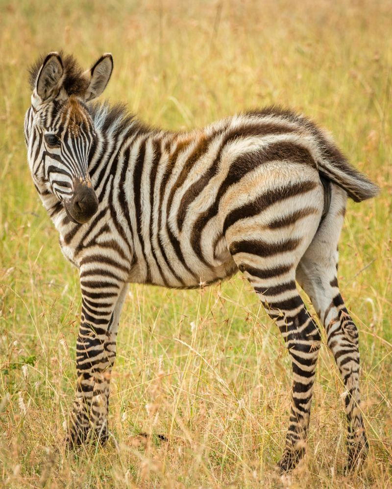 A zebra foul flicks its tail and looks behind him at the brown and green field he's standing in.