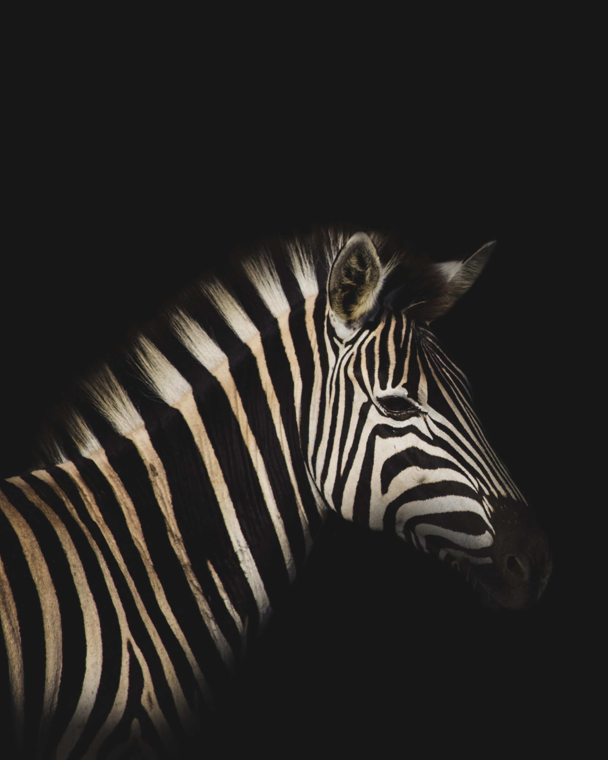 A zebra stands in front of a black background, his eyes half closed, his black stripes blending into the background.
