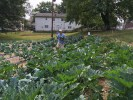 Harvesting zucchini. Sept. 2016.