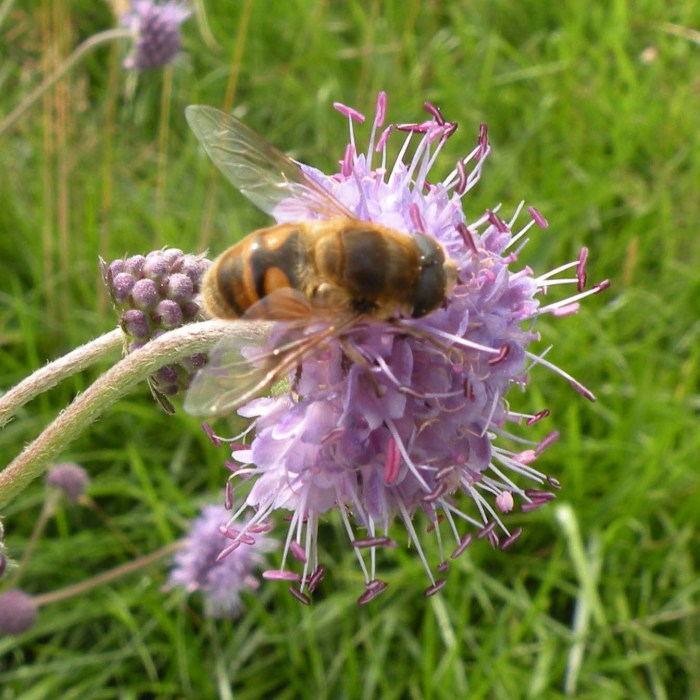 Hoverfly on Devils bit scabious