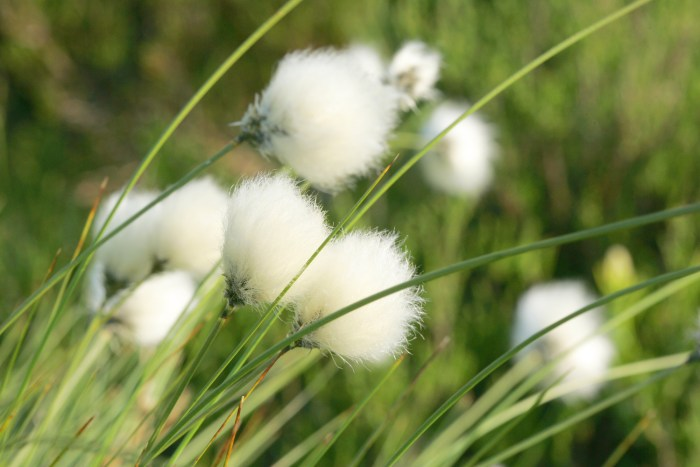 hares-tail-cottongrass