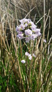 A sure sign that spring has arrived, the cuckoo flower blooms from April