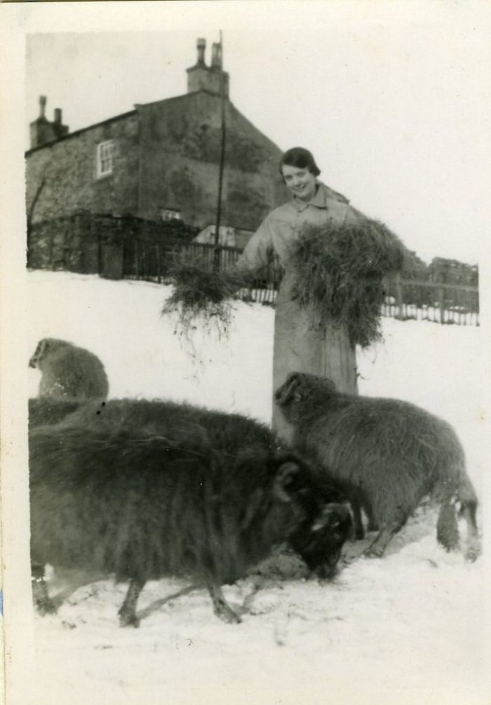 Feeding hay to sheep in snow. Ann Holubecki collection