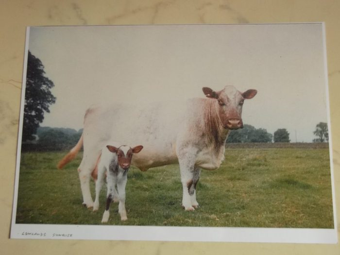 Lowlands Sunrise as a calf. Courtesy of David Hodgson