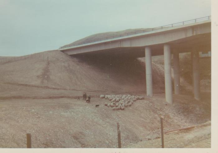 Driving sheep under the new motorway bridge, unknown date. Courtesy of Hilary Wilson
