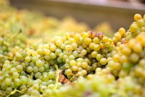 Douro Valley Grapes