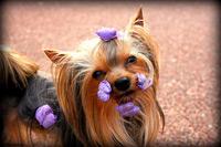 yorkshire terrier moños