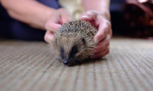 Knaresborough the hedgehog was just 400 grams and wouldn't have survived hibernation