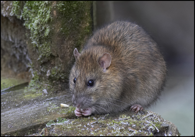 Brown rat. © Copyright Cameraman and licensed for reuse under this Creative Commons Licence.