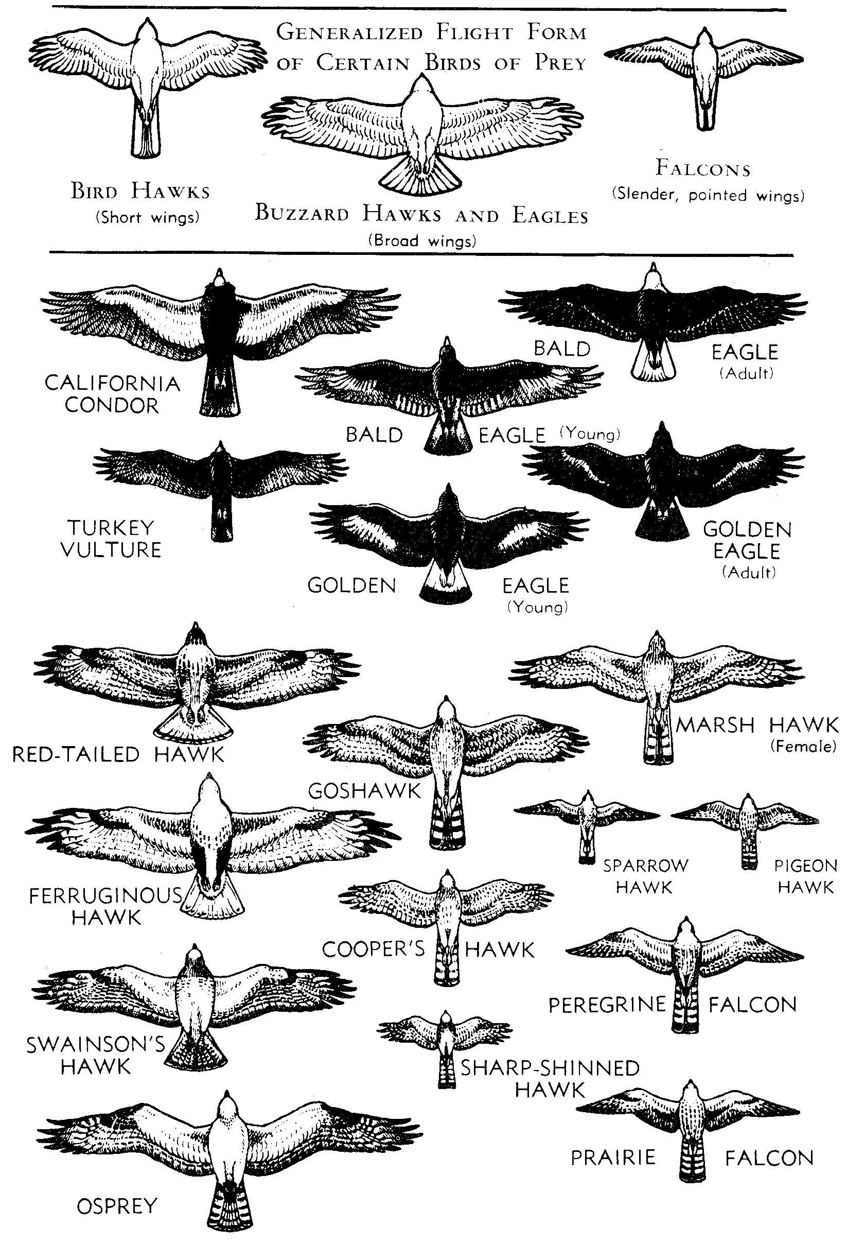 Hawk Vs Eagle Vs Vulture