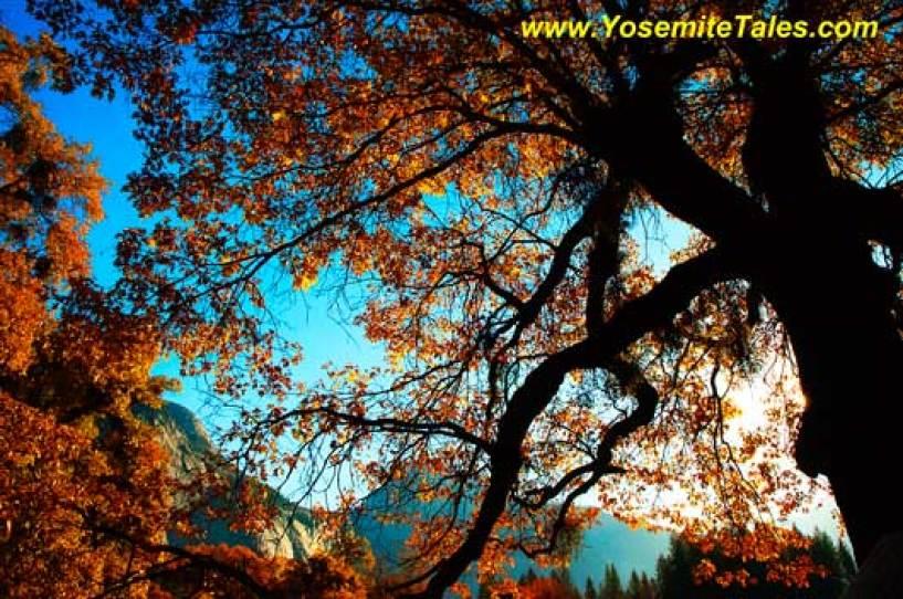 Oak Fall