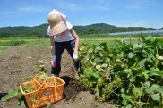 のんのん枝豆収穫