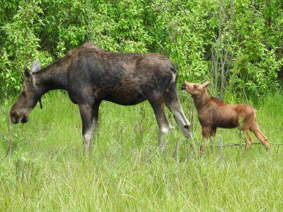 Moeder eland met haar baby