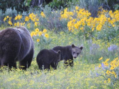 Grizzly mum with cubs