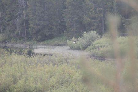 Bald Eagle bij Oxbow Bend