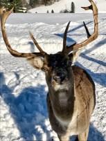 deer winter saalfelden
