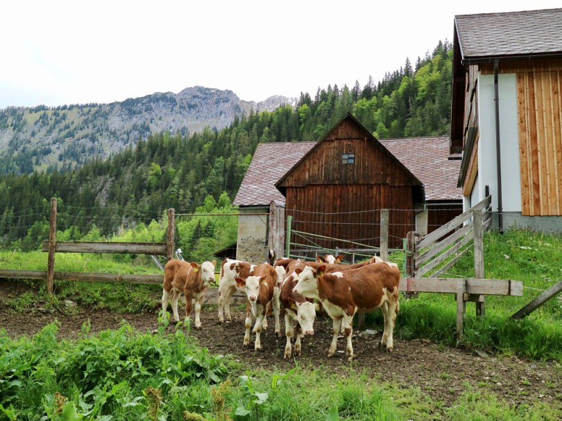 cows Austria Nationalparks