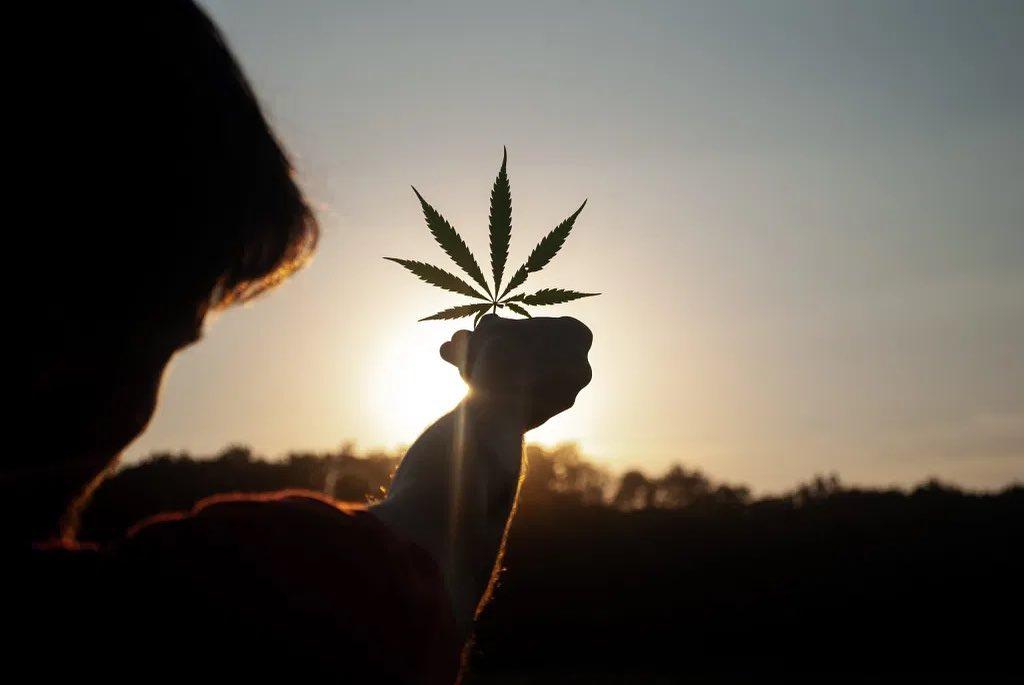 person holding marijuana leaf towards the sun