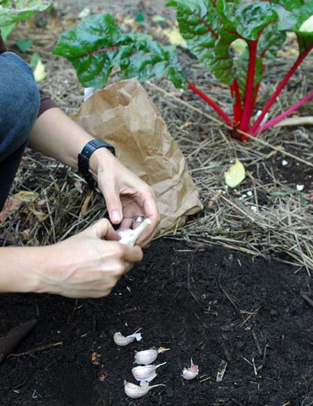 Planting And Growing Garlic Allium Sativum You Grow Girl