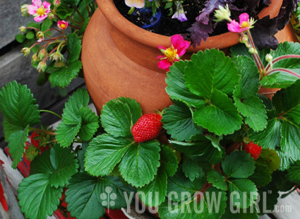 You grow girl growing an edible strawberry pot photo by gayla trail all rights reserved mightylinksfo