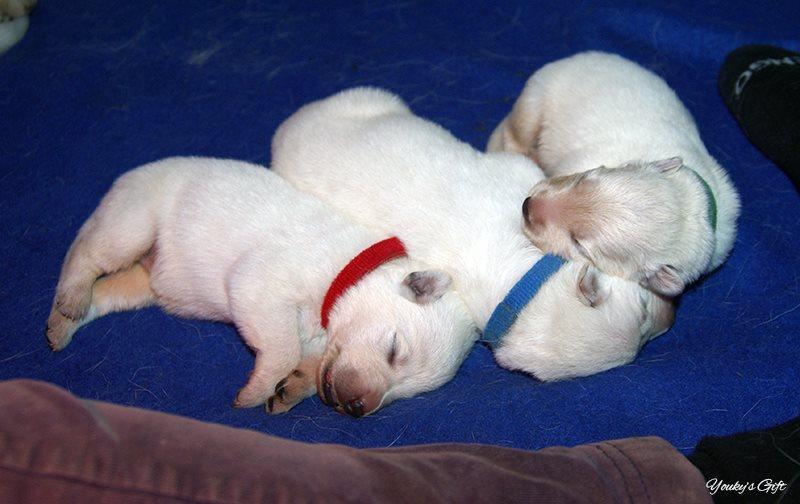 cucciolini pastore svizzero