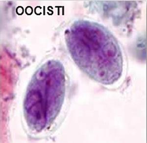 giardia oocisti