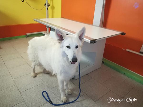 Bikila conta cuccioli Pastore Svizzero Bianco Youky's Gift