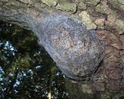nido processionaria quercia