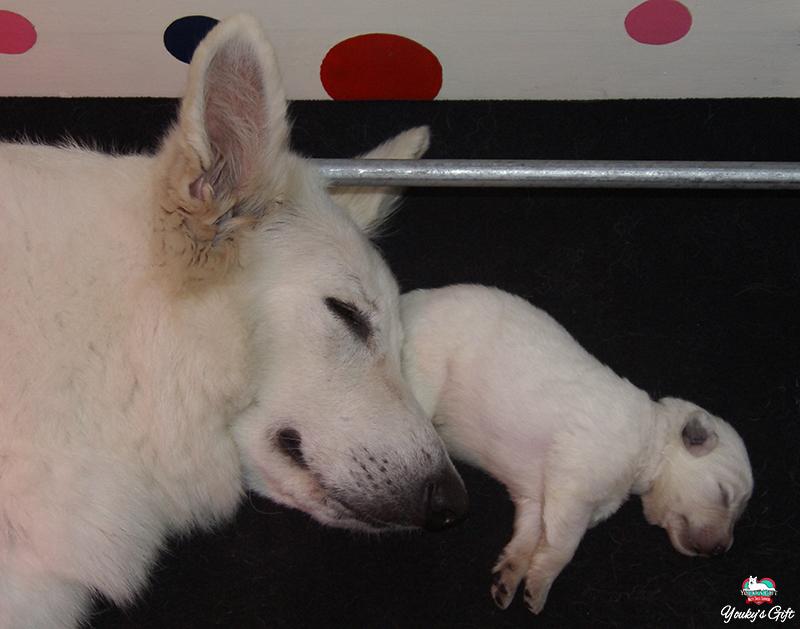 cuccioli pastore svizzero 10 giorni e mamma