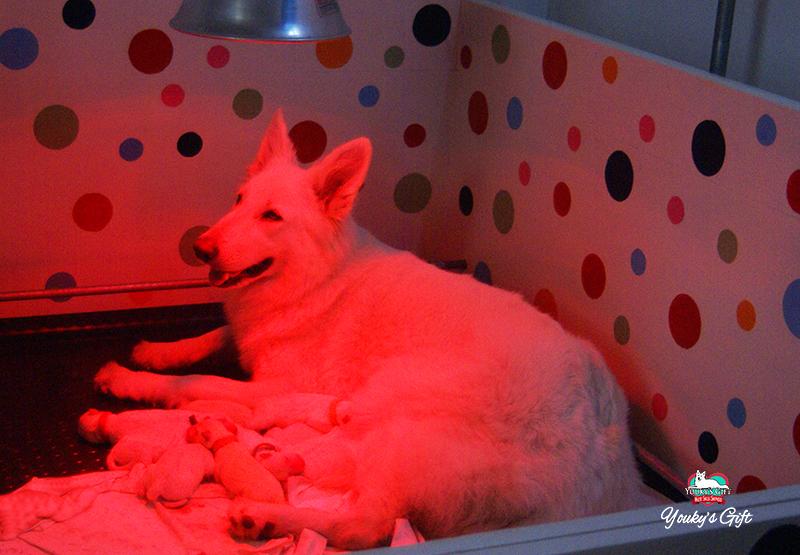 cuccioli pastore svizzero bianco cucciolata E Derin bikila dopo parto