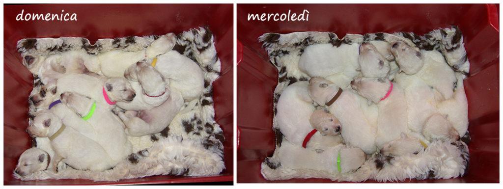 cuccioli pastore svizzero collage 7-10 giorni