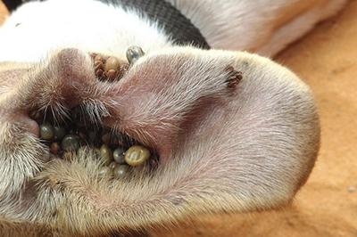 zecche orecchie pastore svizzero cuccioli